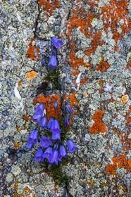 Haute maurienne vanoise phototh que photos reportages bertrand bodin photographe - Campanule a feuilles rondes ...